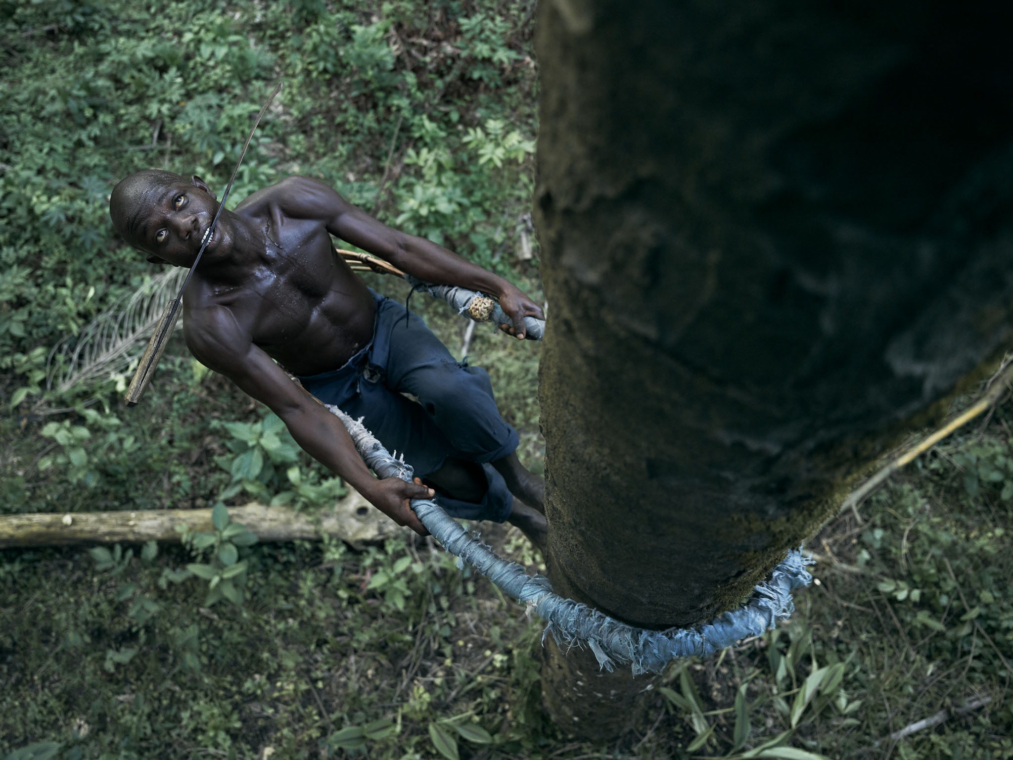 Momoh Babaga, 22, with his knife carried in his mouth, climbs a tree to collect palm kernels which will be processed into oil, Tombohuaun, Kailahun District, Sierra Leone, May 2017.